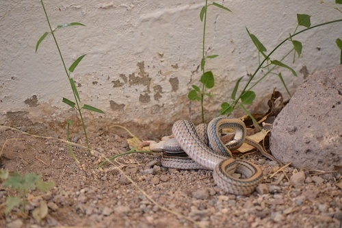 Western Patch-nosed Snake killing a whiptail lizard by constriction.